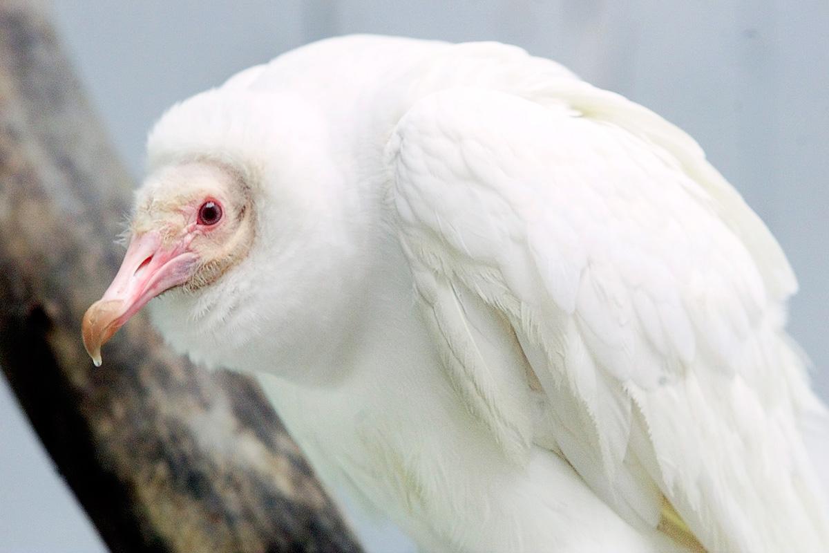 An albino Black Vulture is a rare find. Tom Gannam/AP