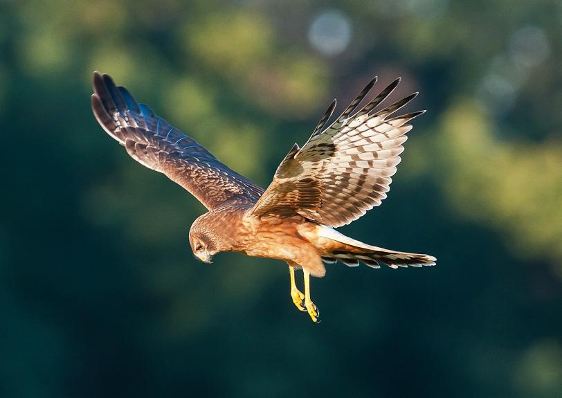 Northern Harrier. Ray Whitt/Audubon Photography Awards