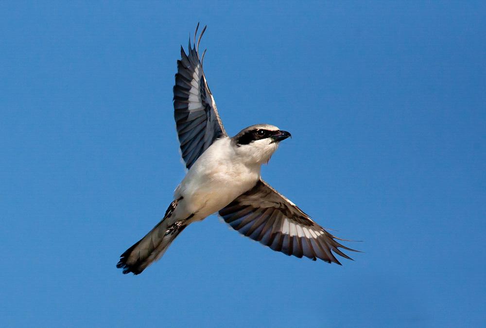 Loggerhead Shrike. Richard Rigterink/Audubon Photography Awards