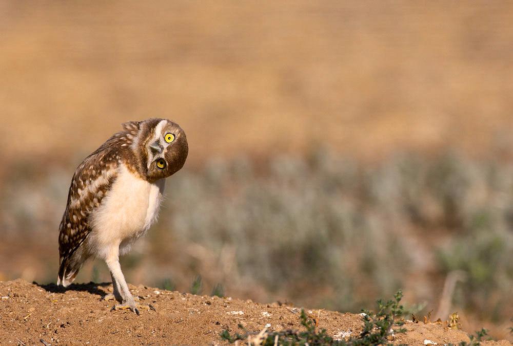 Burrowing Owl. Andy Long/Audubon Photography Awards