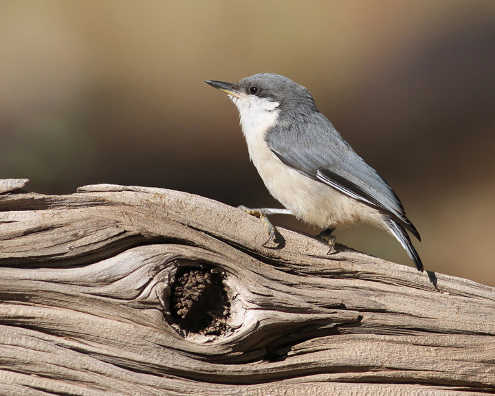 The Pygmy Nuthatch can be found in flocks around New Mexico and the American West. Clyde Dexter/Audubon Photography Awards