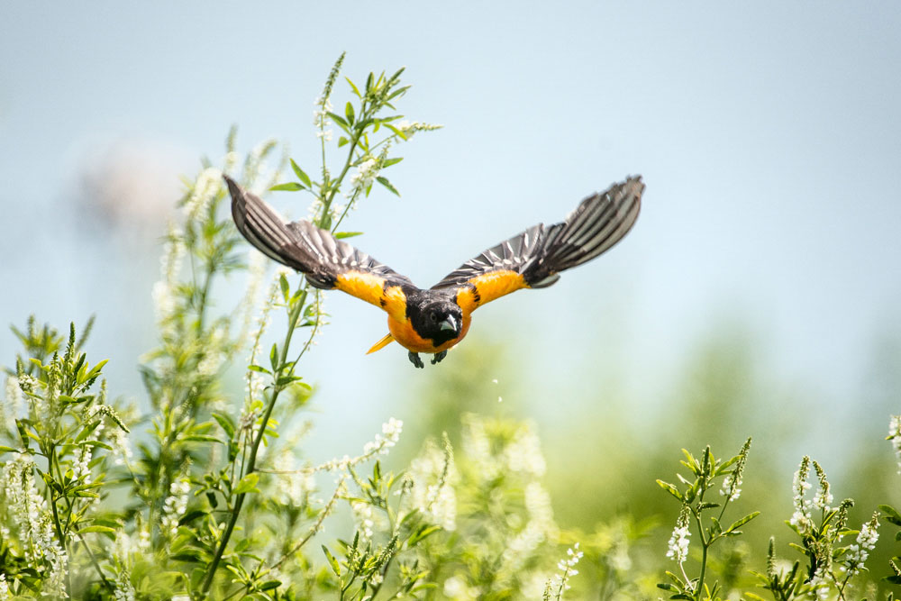 eBird data show that the Baltimore Oriole takes a counter-clockwise route as it migrates between Central America and the eastern half of the U.S. Randy Barba/Audubon Photography Awards