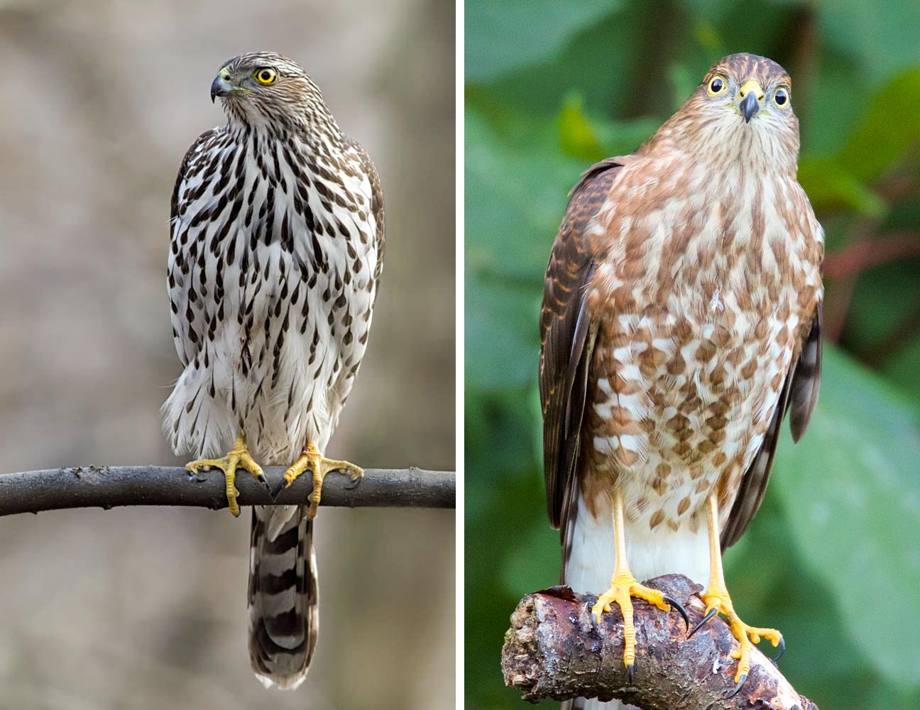 From left: Juvenile Cooper's Hawk. Photo: Sharron Crocker/Audubon Photography Awards; Juvenile Sharp-shinned Hawk. Photo: Jerry McFarland
