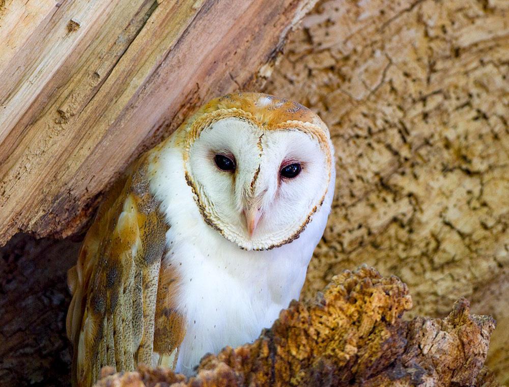 Barn Owl. Dan Dietrich/Audubon Photography Awards