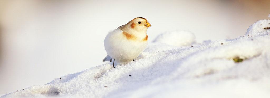 Snow Bunting. Tracey Harmon/Audubon Photography Awards