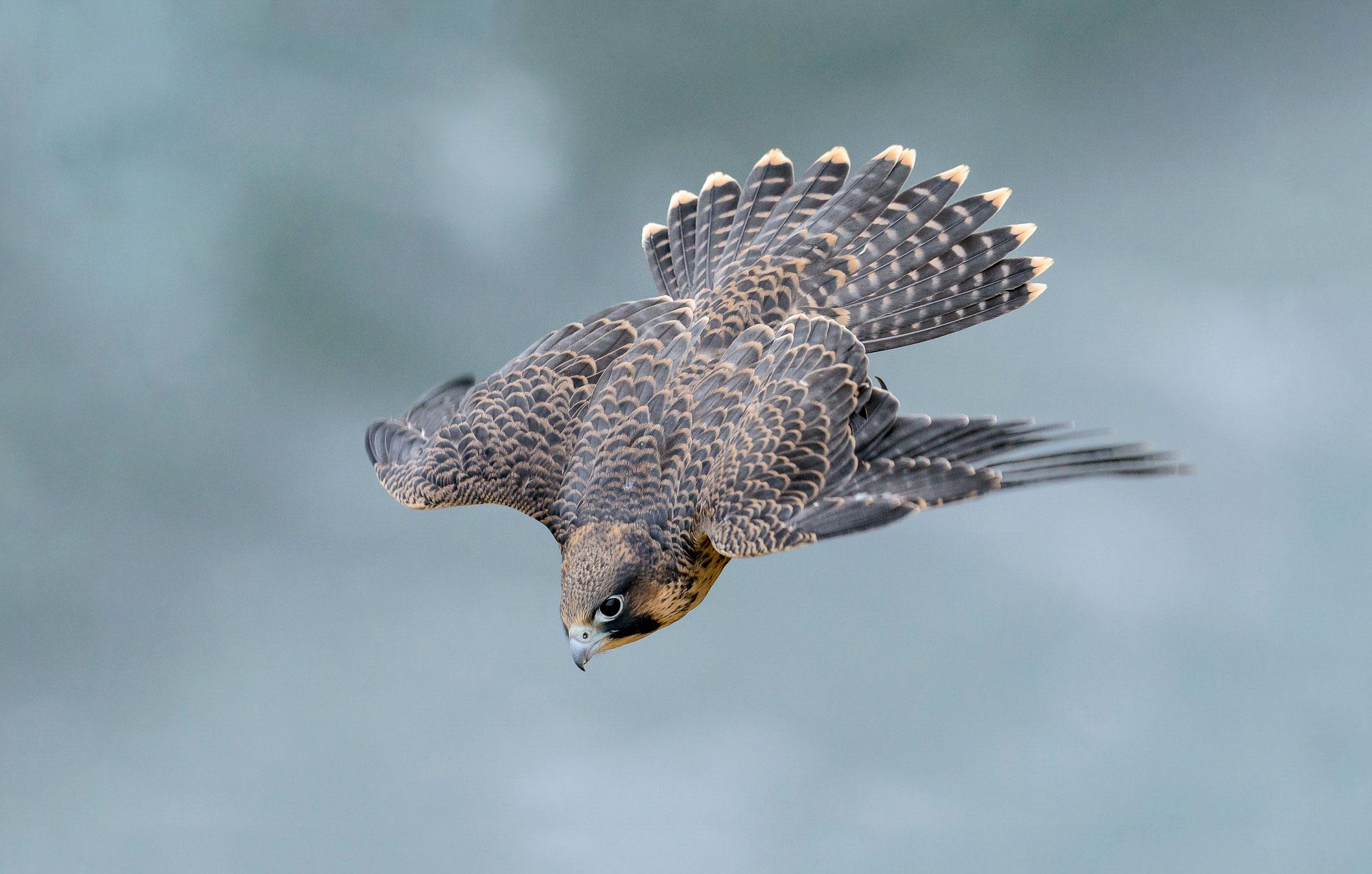 Peregrine Falcon. Bruno Struck/Audubon Photography Awards