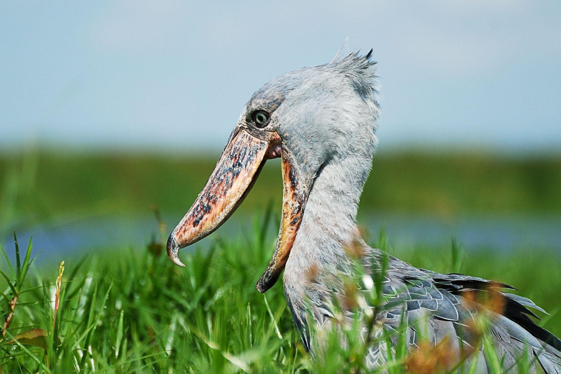 Shoebill. John Rollins/Audubon Photography Awards