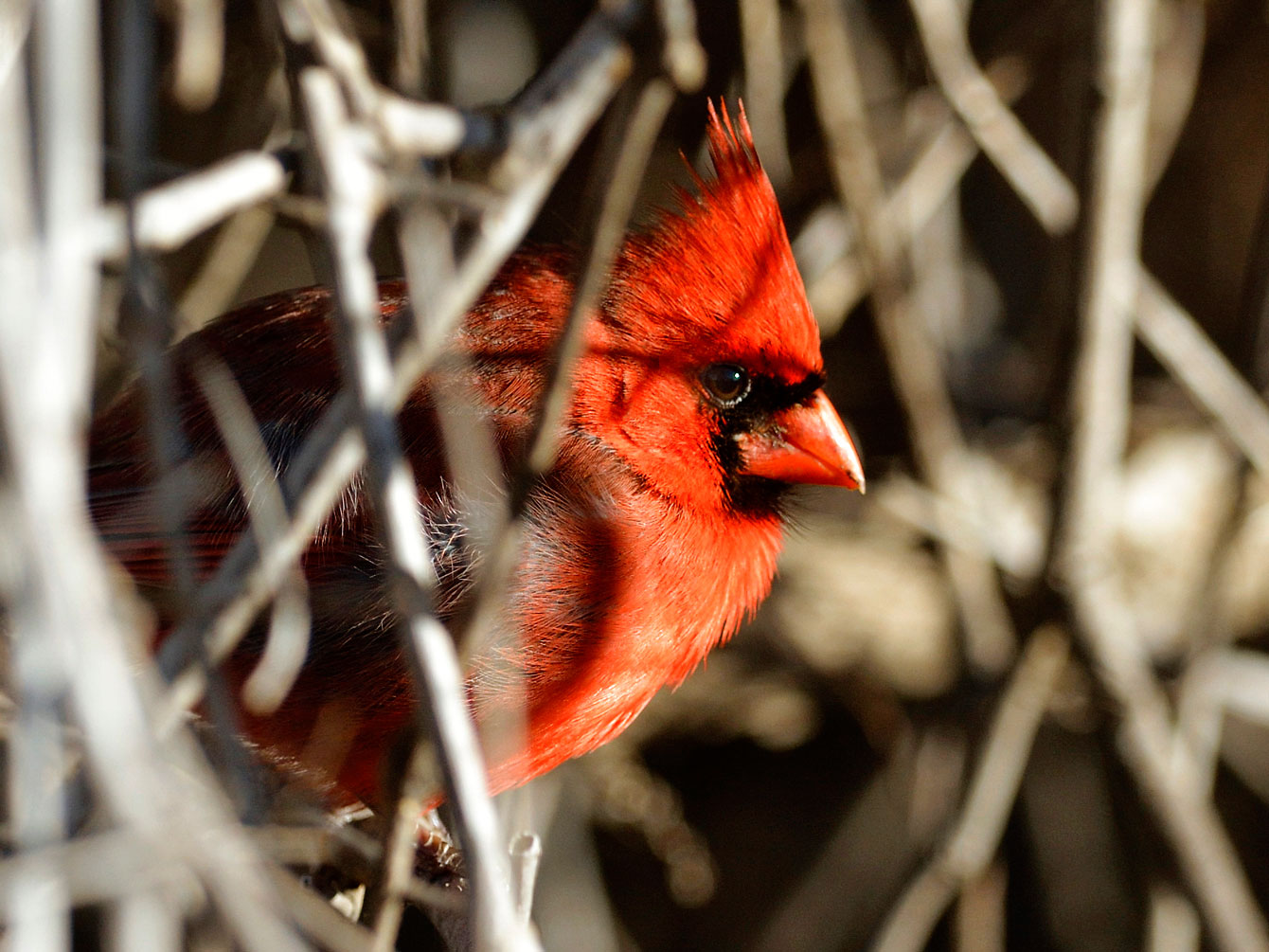 Most Northern Cardinals have a mutation that turns their plumage red. But a few harbor a much rarer mutation that leaves their feathers bright yellow. Jim West/Audubon Photography Awards