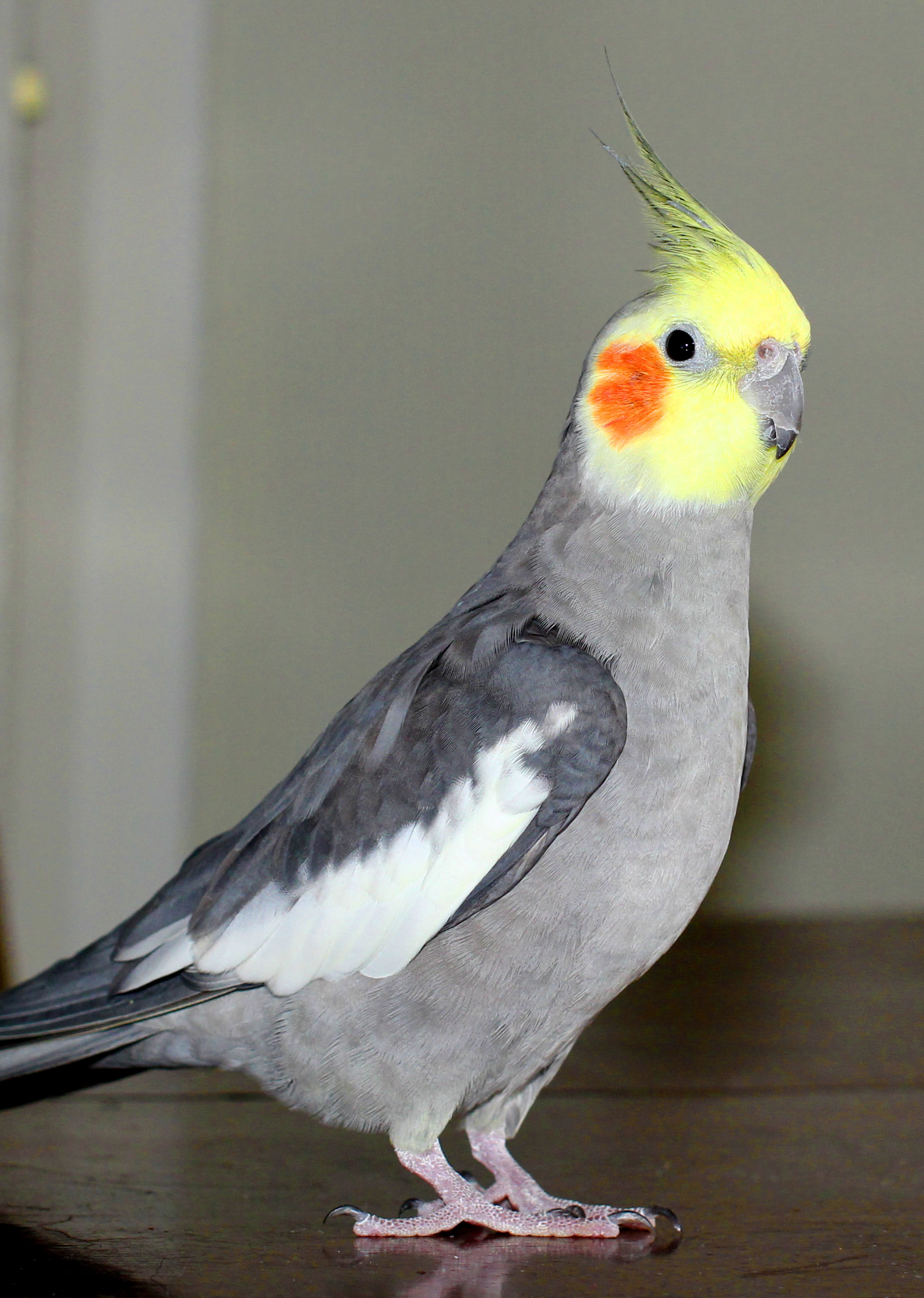 Billy, the self-pleasuring cockatiel and the muse behind the study. Adam Fisher