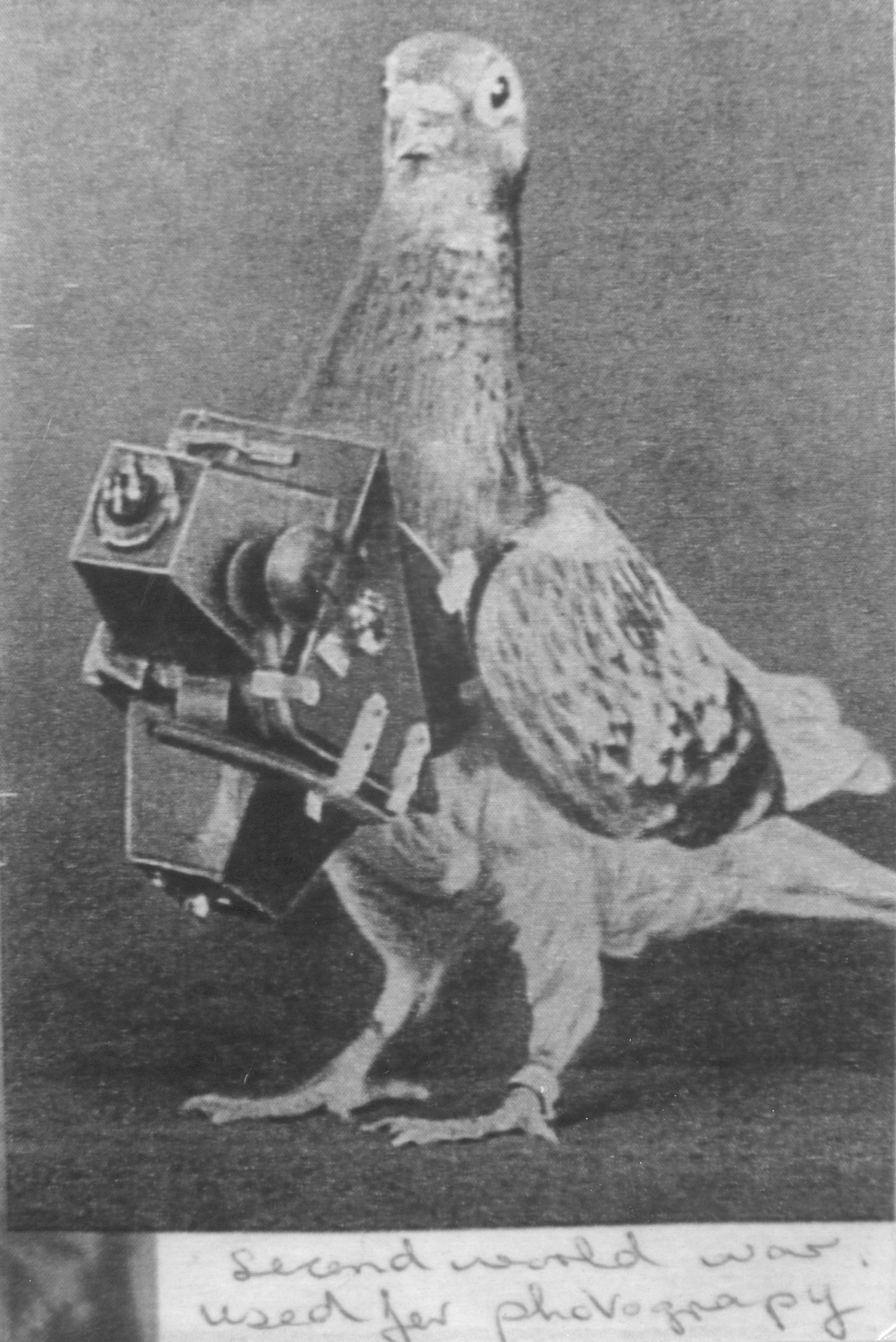 An aerial reconnaissance pigeon, trained to fly over enemy lines with a clockwork camera to snap images before returning home with the intelligence. AR/BNPS