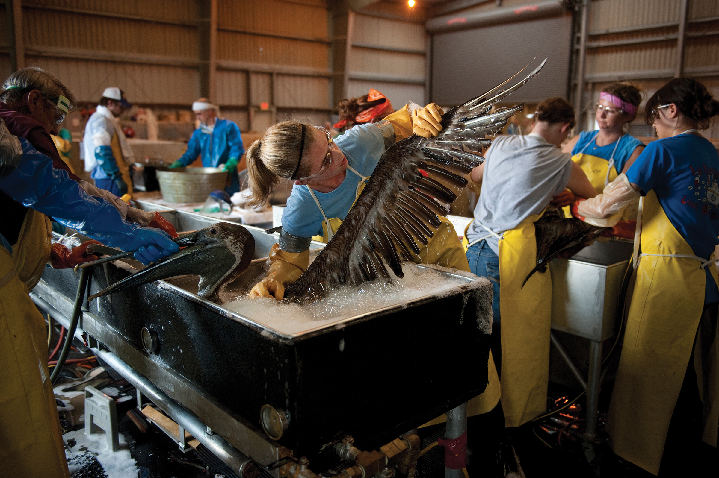 Oil causes birds to lose the waterproofing that keeps their bodies warm. Rescuers transported oiled birds to rehab centers, where they received a thorough cleaning. Handling, washing, and rinsing a Brown Pelican can be a three-person job. Joel Sartore
