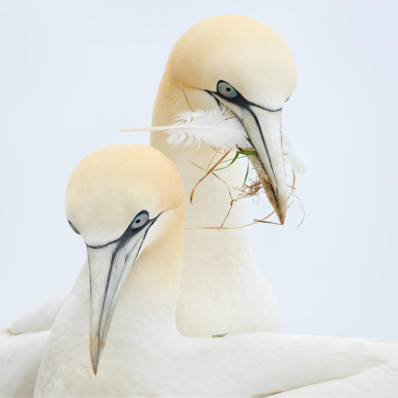 Northern Gannets. Christine Hansen/Audubon Photography Awards