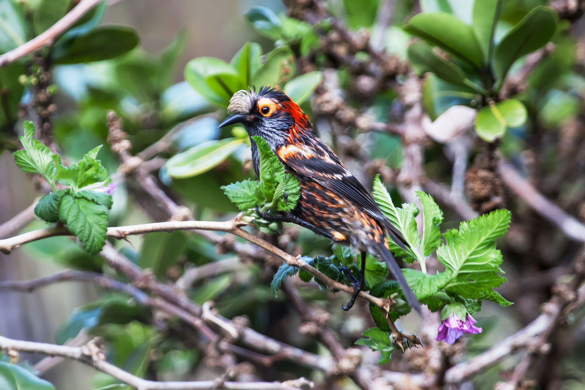 The critically endangered Crested Honeycreeper, locally known as the Akohekohe, is projected to lose more than 90 percent of its range. Robby Kohley
