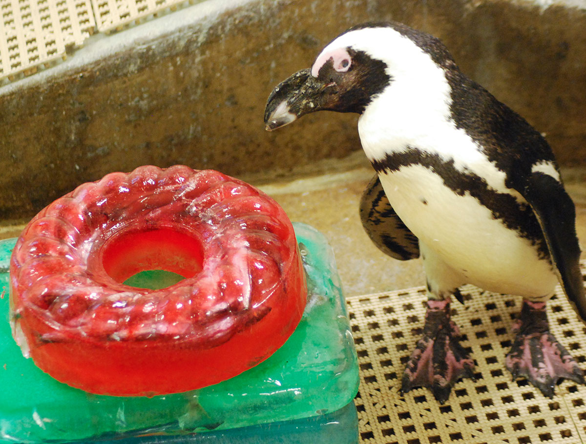 Don with her cake. None of the other penguins would be photographed with her. Courtesy of the Children's Zoo at Celebration Square