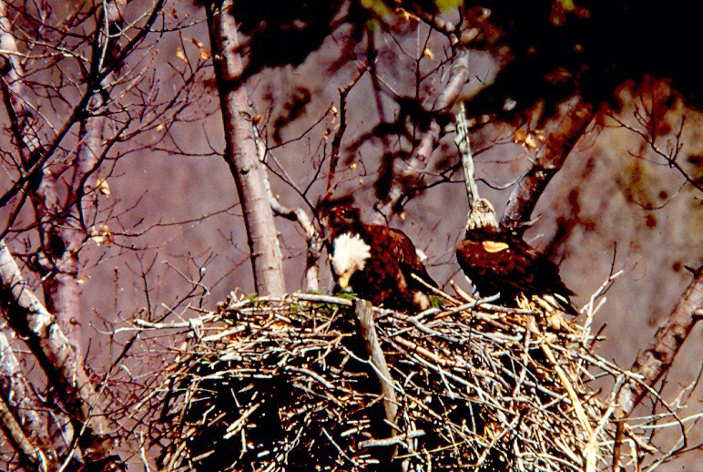 Eagle 03142 and his mate in their Hemlock Lake nest in 1981. The yellow wing tags mark 03142 (on the right) as a graduate of NYSDEC's eagle restoration program. New York State Department of Environmental Conservation