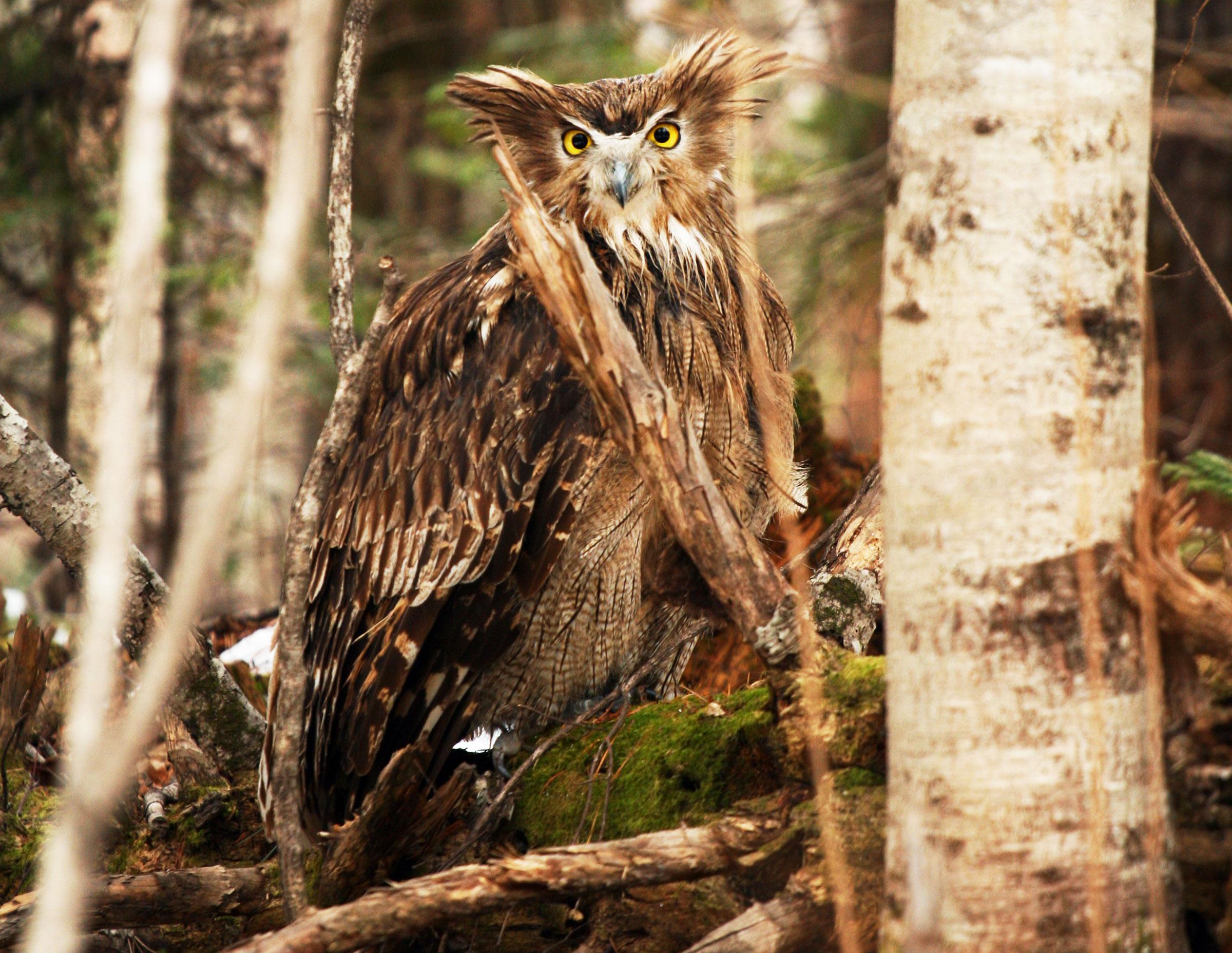 An adult female Blakiston's Fish Owl. Jonathan Slaght/WCS Russia