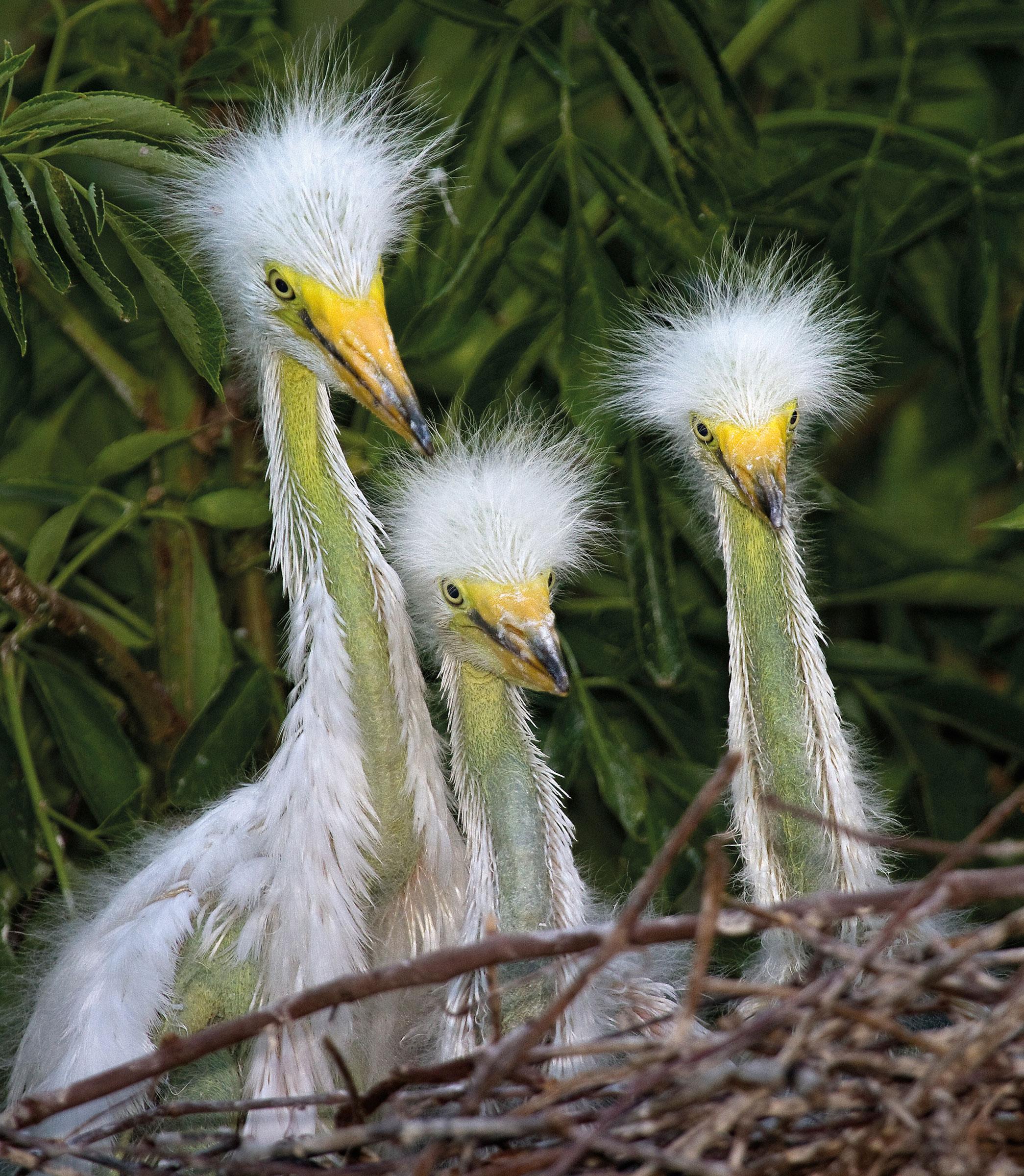 Great Egrets. William Burt