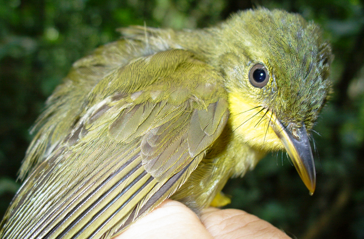 The Icterine Greenbul population declined by 90 percent over 15 years. Nicole Arcilla