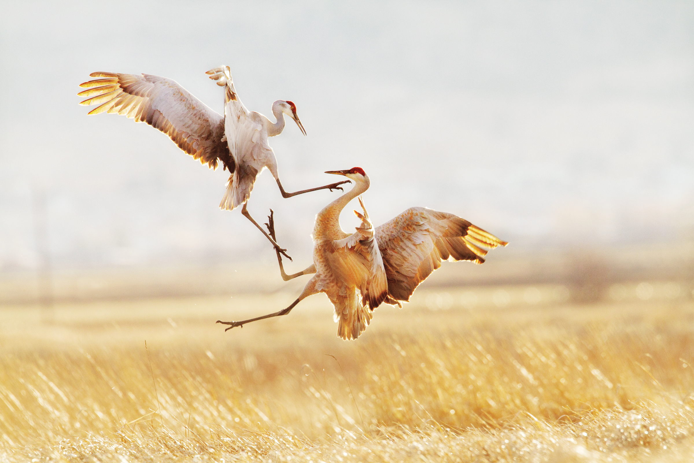 Sandhill Cranes. Jason Savage/Audubon Photography Awards