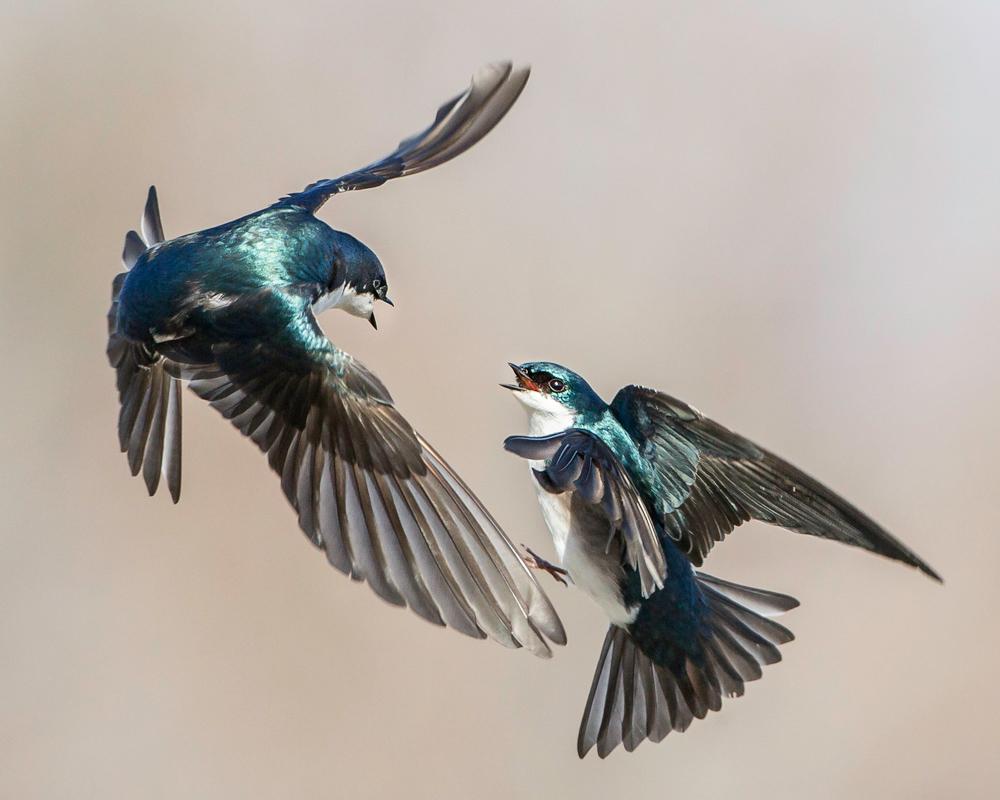 Tree Swallows. Jerry Amende/Audubon Photography Awards