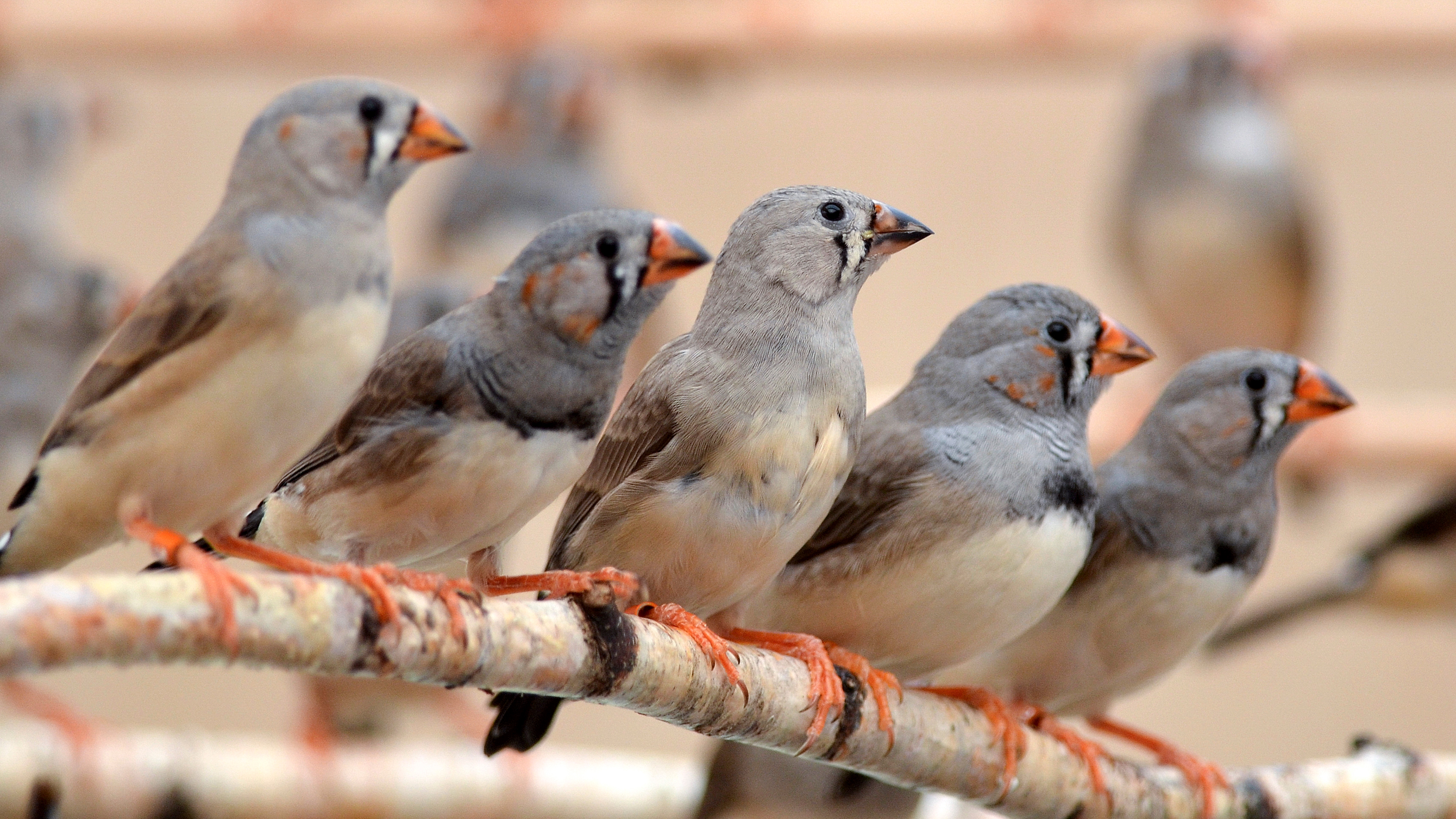 Some of the young Zebra Finches used in the study. Wolfgang Forstmeier