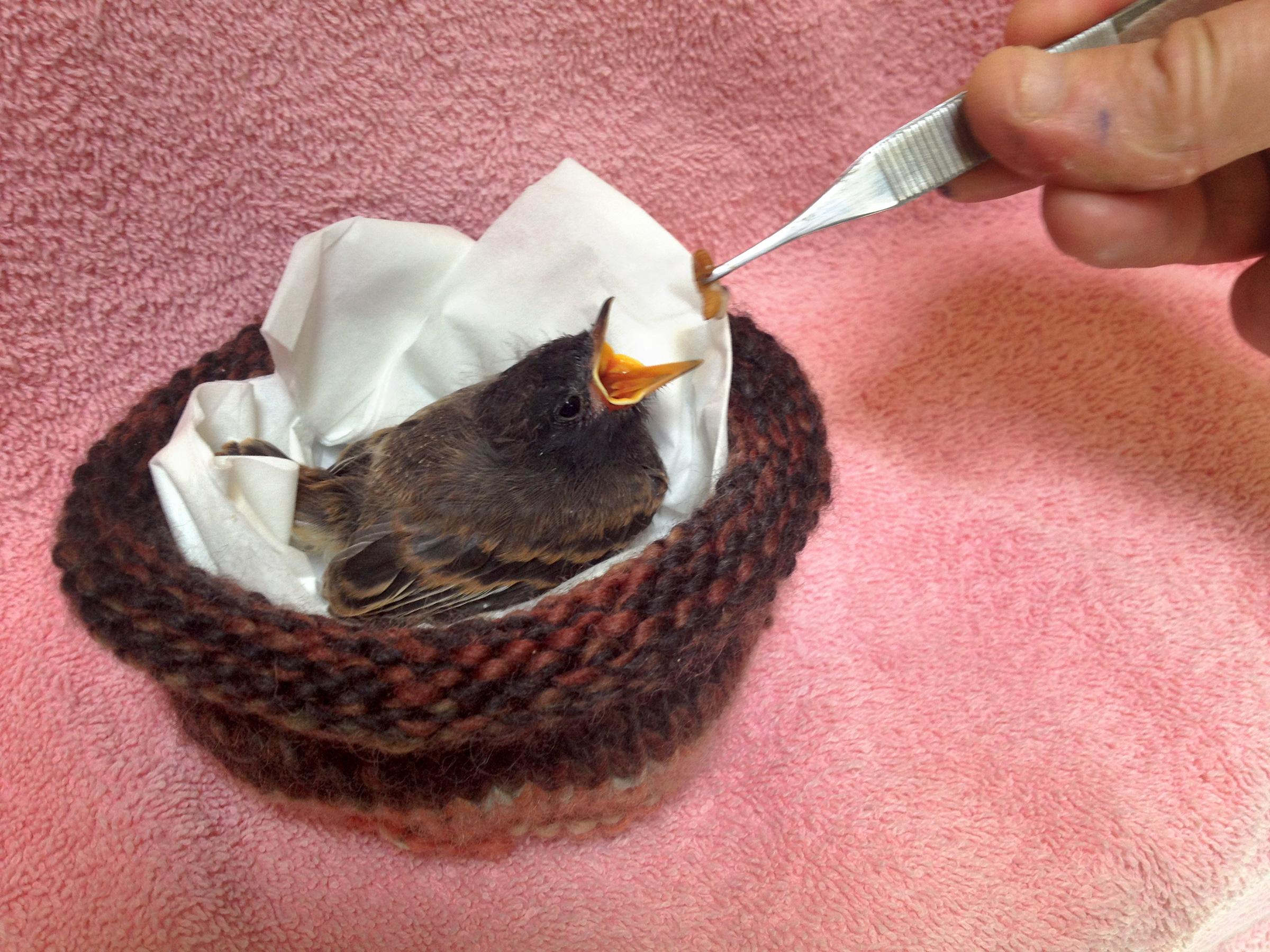 American Robin nestling. Melanie Piazza