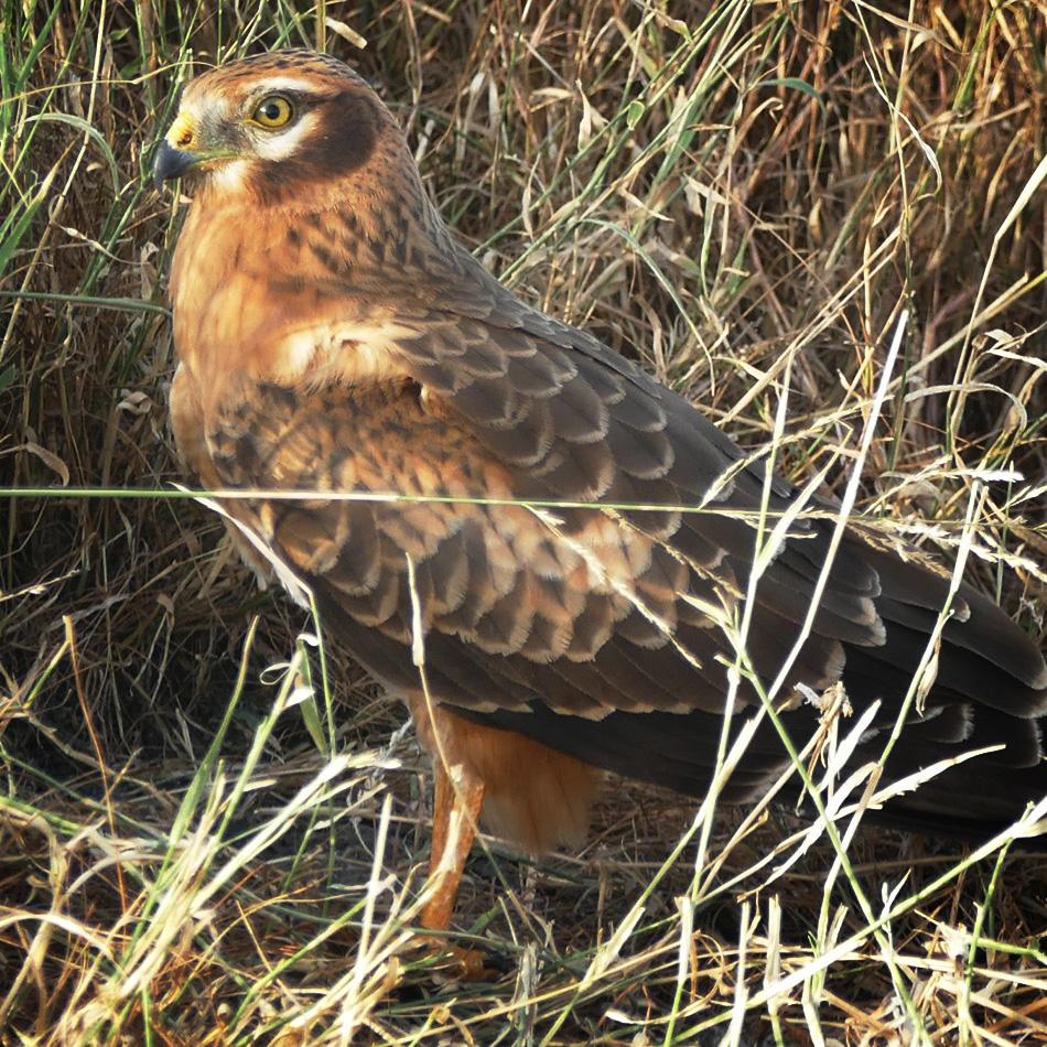 A Montague's Harrier settles in at Tal Chappar. Noah Strycker