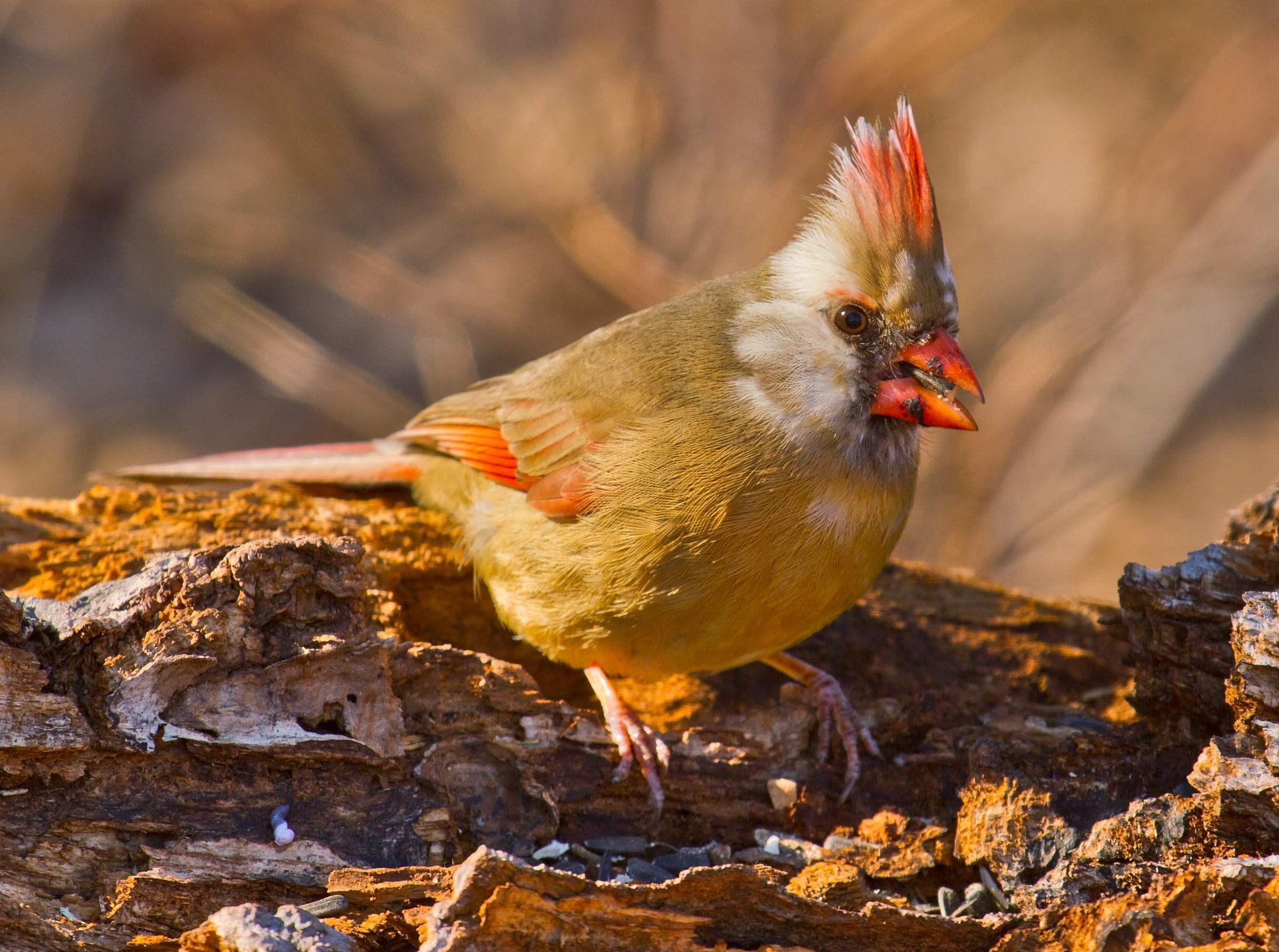 This leucistic Northern Cardinal still has some color, thanks to carotenoids. Lindell Dillon