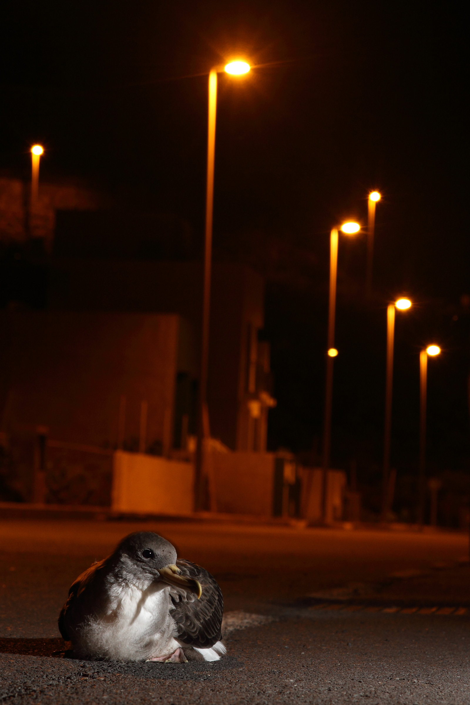 A Cory's Shearwater fledgling is grounded by artificial lights in Tenerife, Canary Islands. Airam Rodríguez