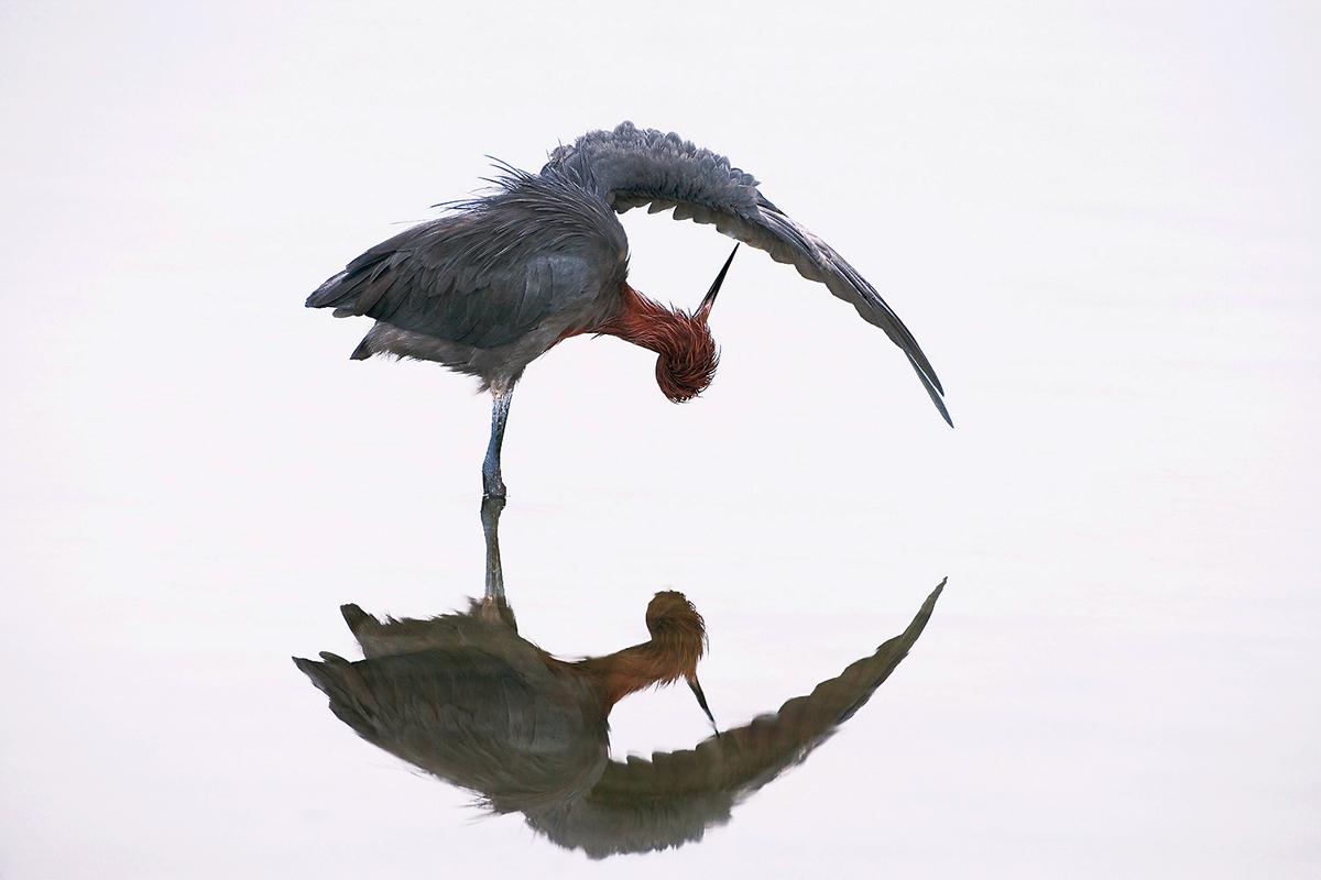 Reddish Egret. Marie Read/Audubon Photography Awards