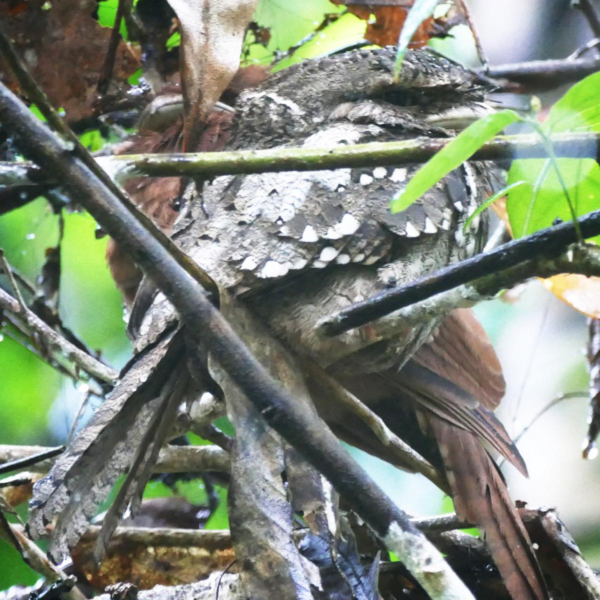 A pair of Sri Lanka Frogmouths, Noah's record-breaking 4,342nd bird of the year. Noah Strycker