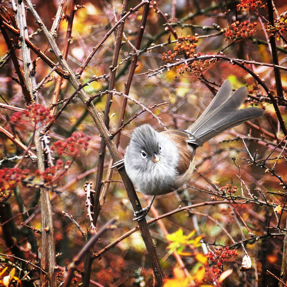 A Gray-hooded Parrotbill, one of Mount Emei's high-elevation specialties. Noah Strycker