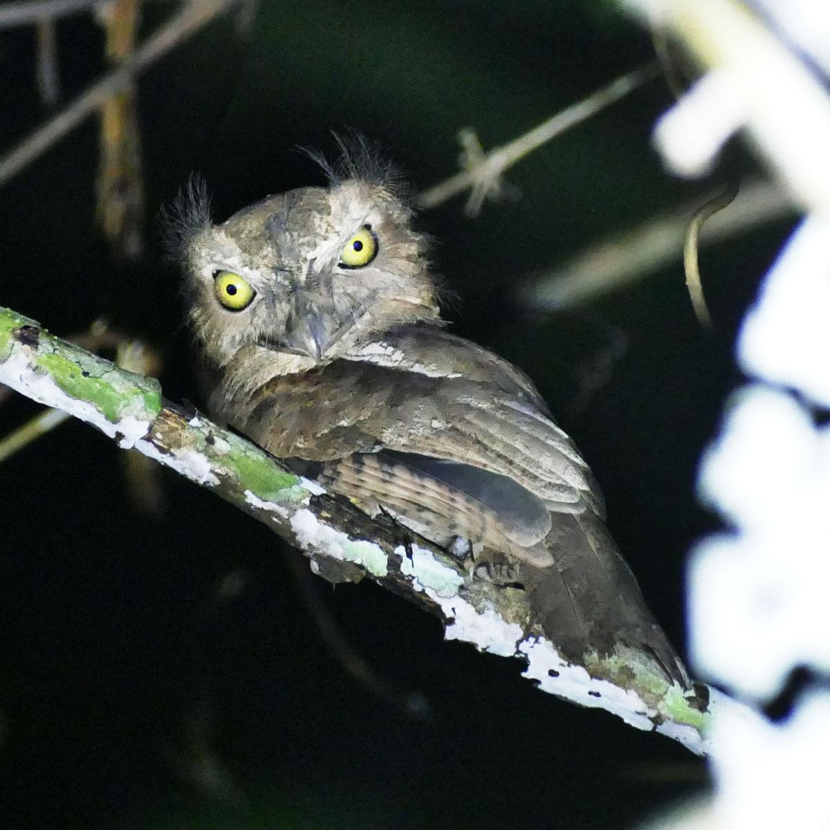 A Palawan Frogmouth awakes after dark. Noah Strycker