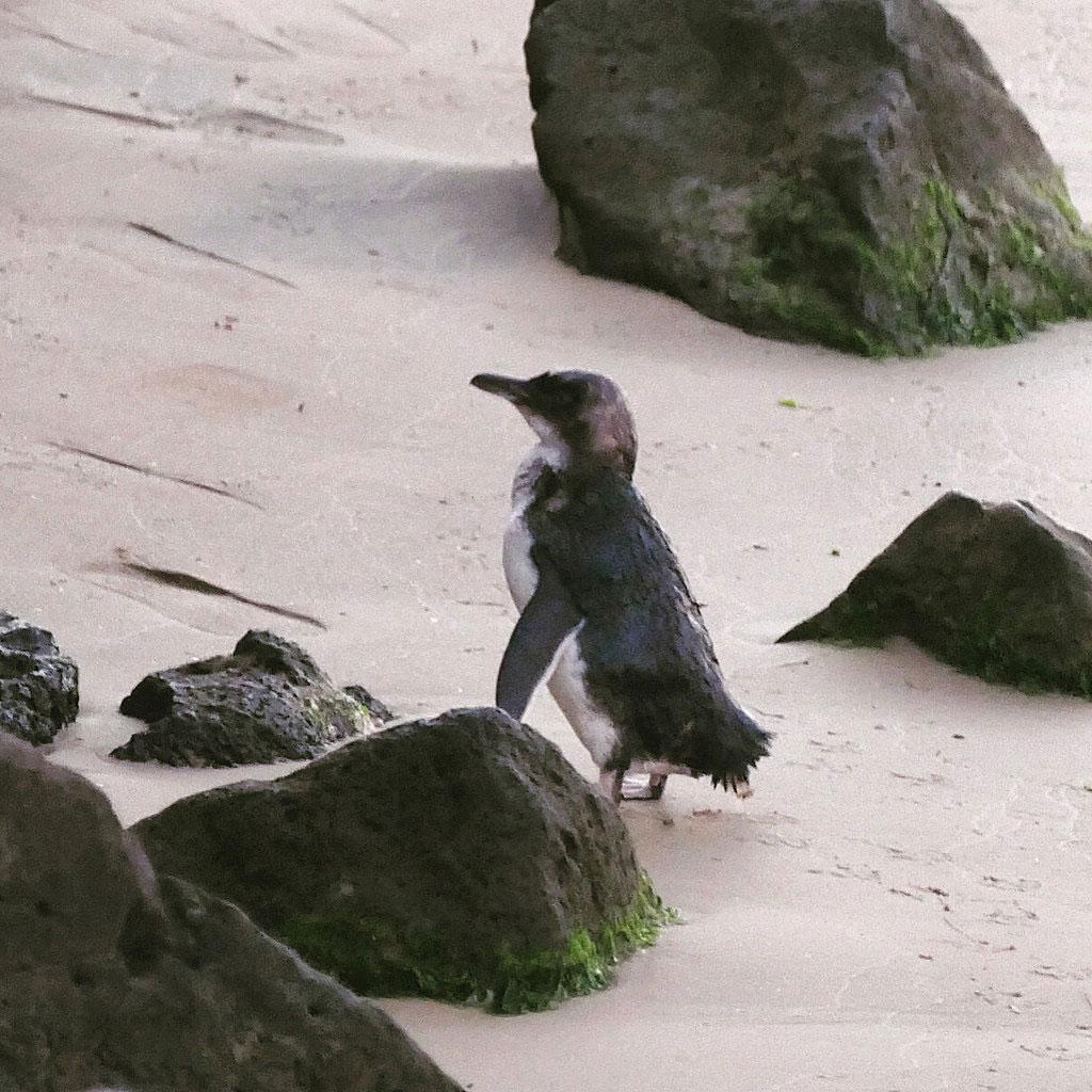 The first Little Penguin returns to its nest. Noah Strycker