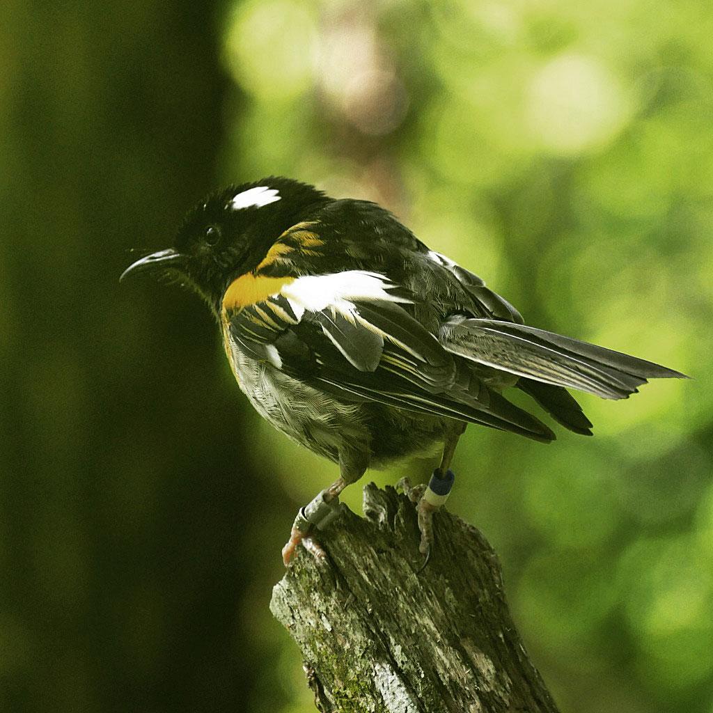 A Stitchbird inhabits Tiritiri Matangi. Noah Strycker