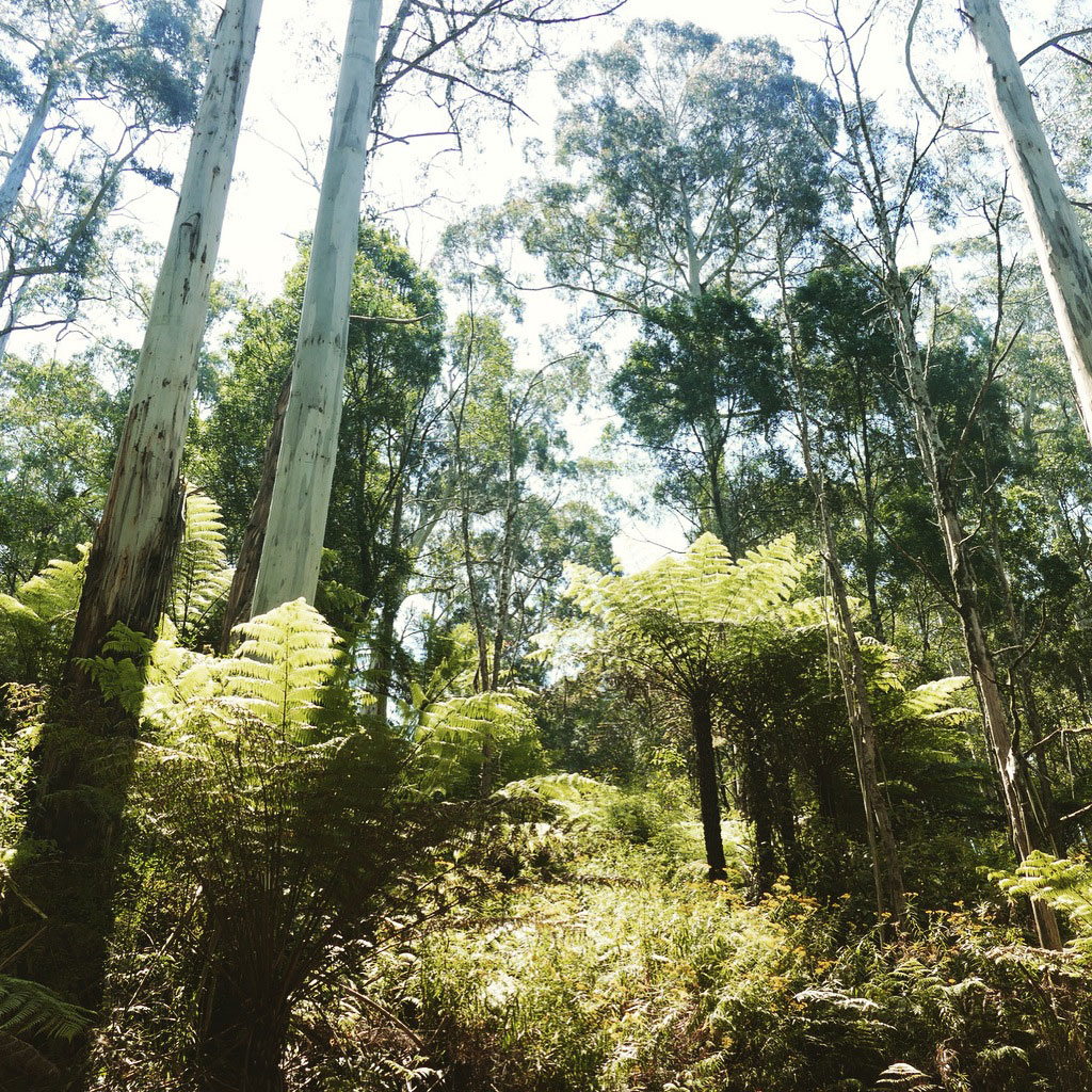 Eucalyptus forest at Great Otway National Park is home to birds and koalas. Noah Strycker