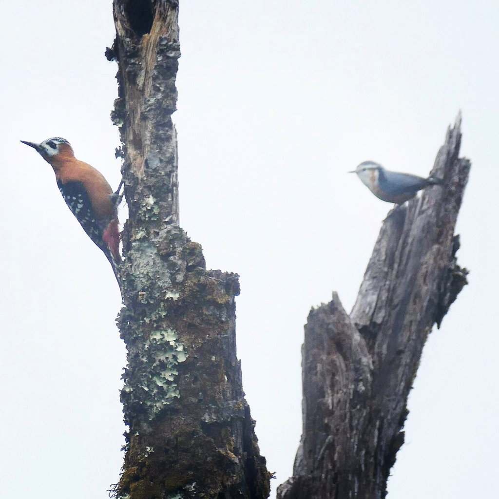 A Rufous-bellied Woodpecker shares a fog-shrouded snag with the endemic White-browed Nuthatch. Noah Strycker
