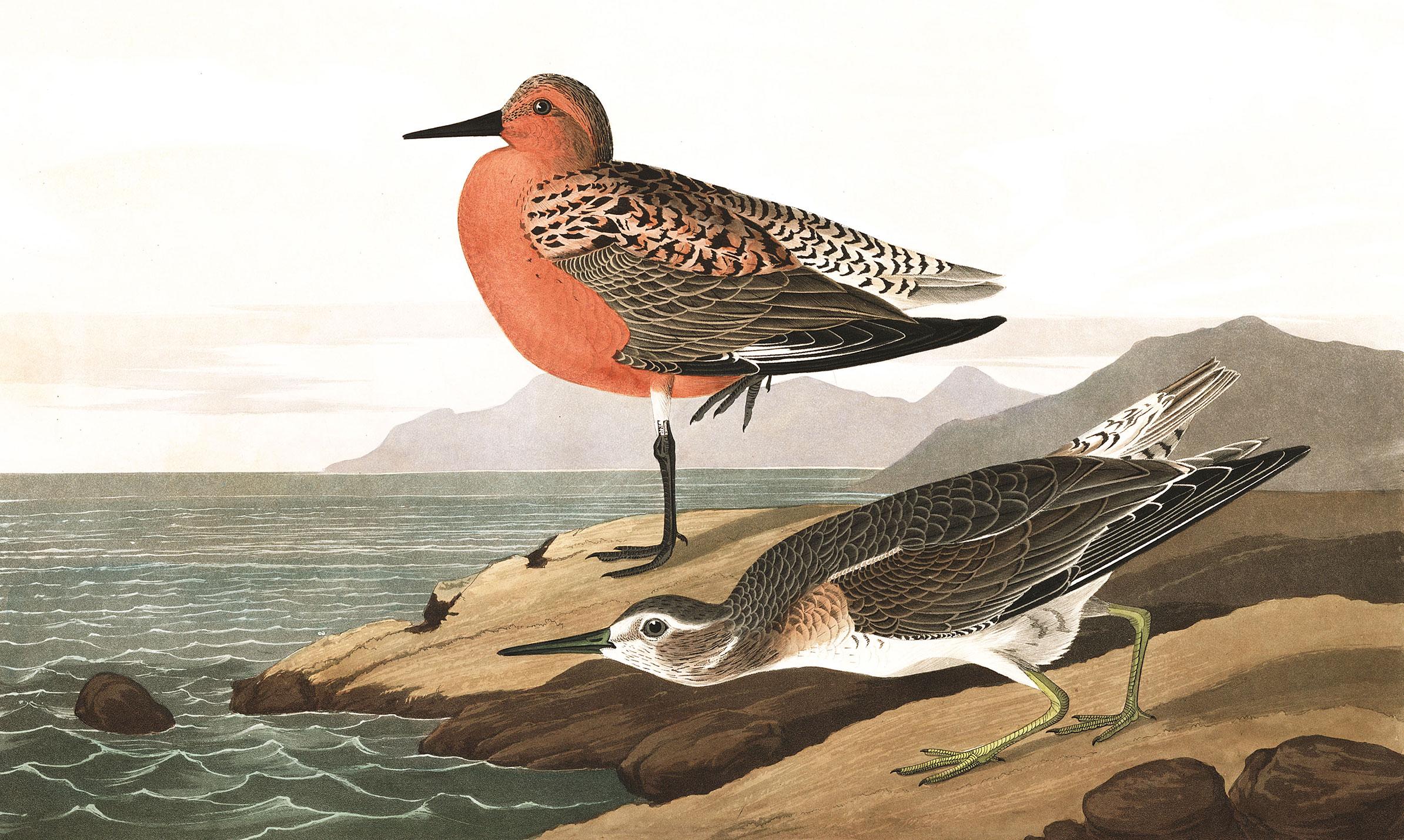 Ilustración: John James Audubon
