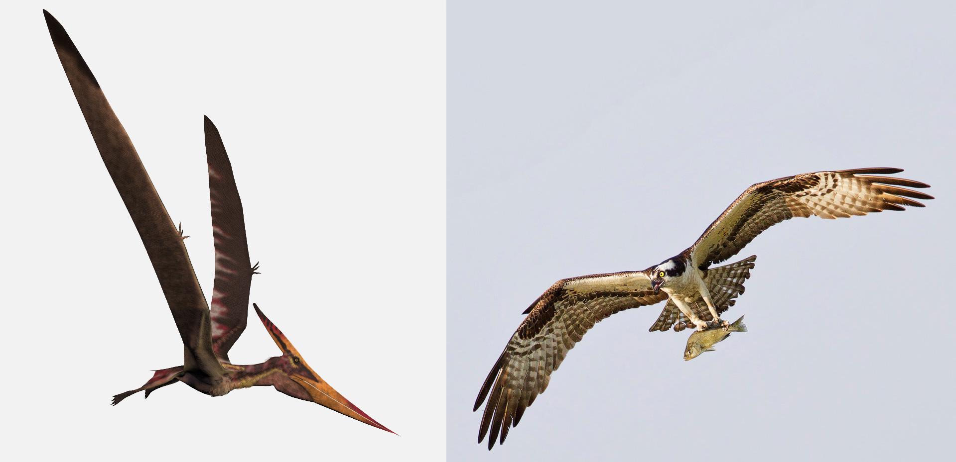 Pteranodon and Osprey. Illustration: Stocktrek Images, Inc./Alamy, photo: Nick Palmieri/Audubon Photography Awards