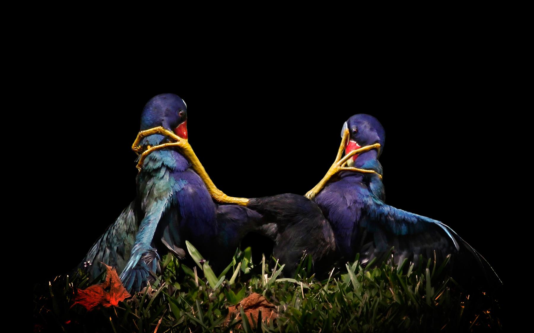 Purple Gallinule Mary Angela Luzader