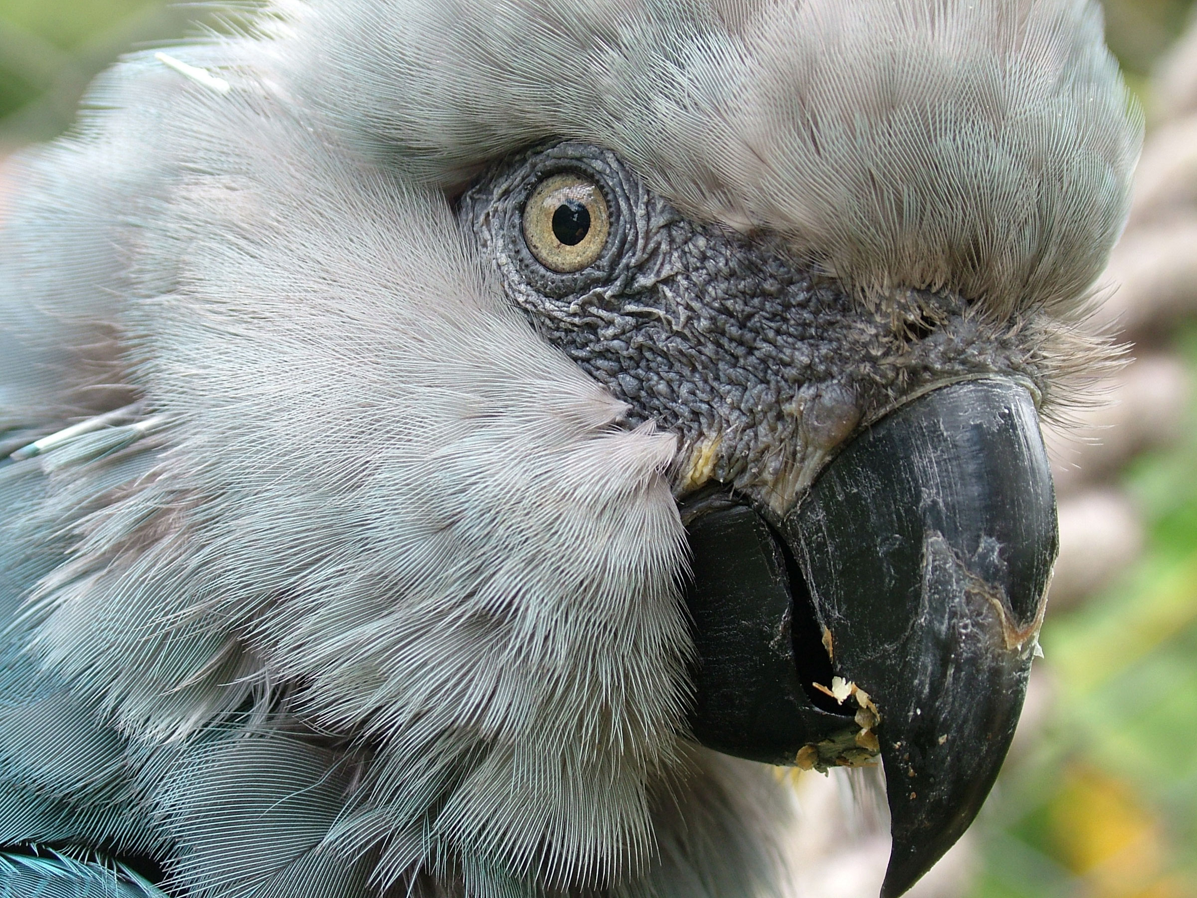 A captive Spix's Macaw named Presley emerged in Denver, Colorado, in 2002. Lymington Foundation