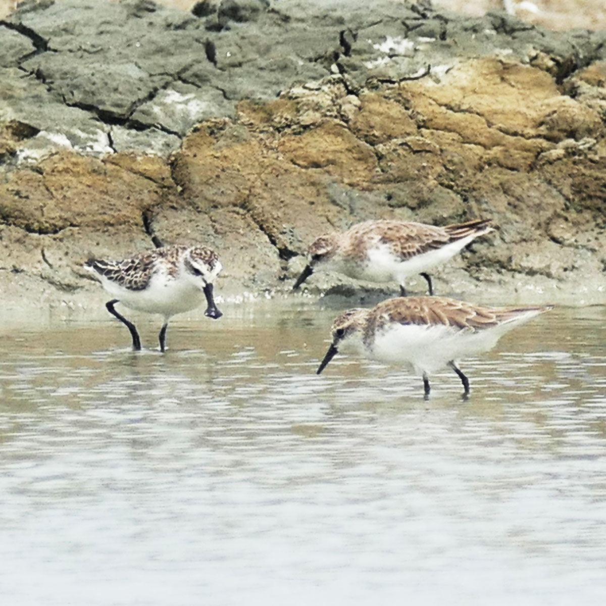 A Spoon-billed Sandpiper (left) forages with two Red-necked Stints at Pak Thale. Noah Strycker