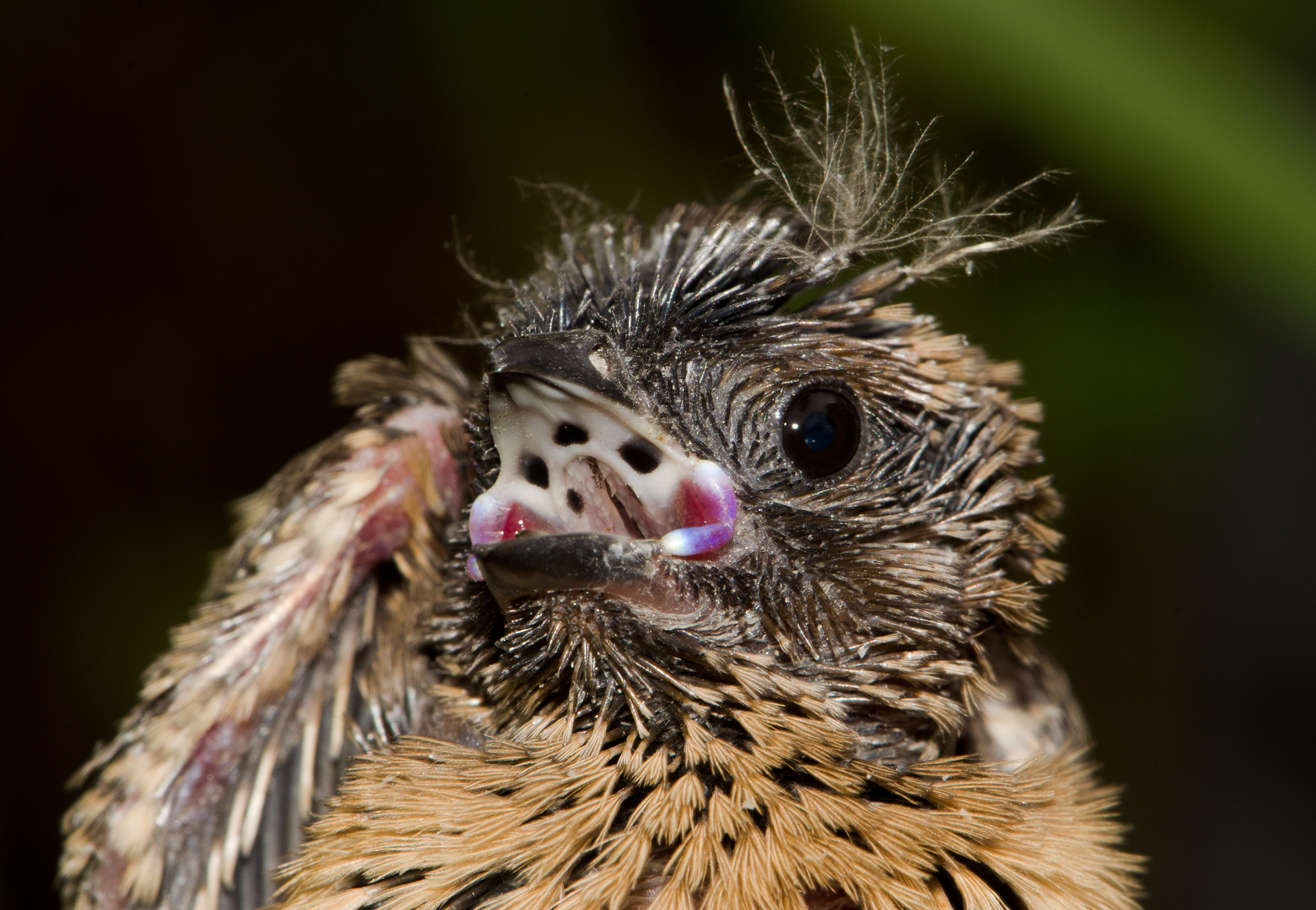 The creepy pattern on the roof of this young Purple Indigobird's mouth looks exactly like the one in its host, the Jameson's Firefinch. Claire Spottiswoode