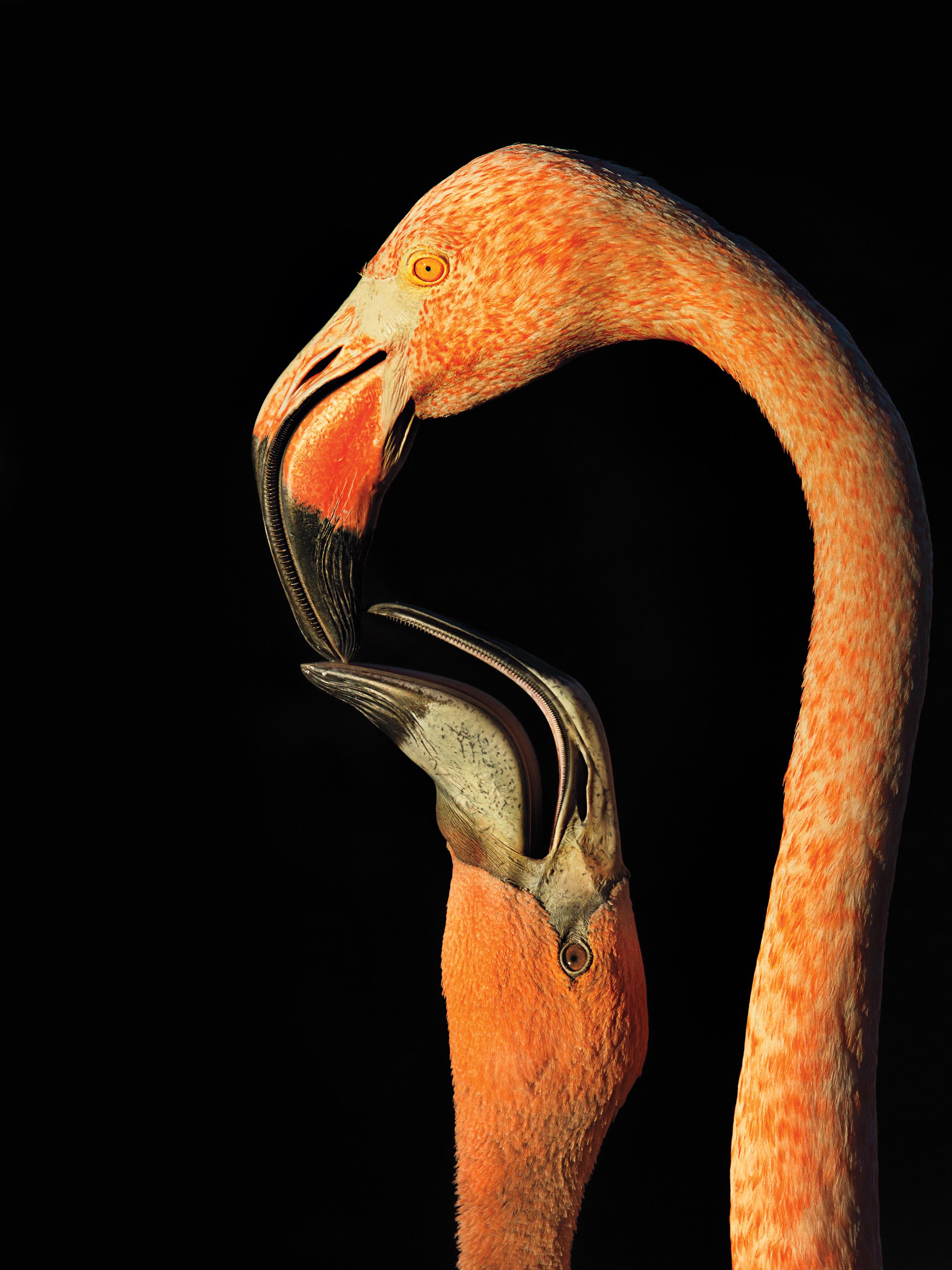 American Flamingo. Steve Russell/Audubon Photography Awards