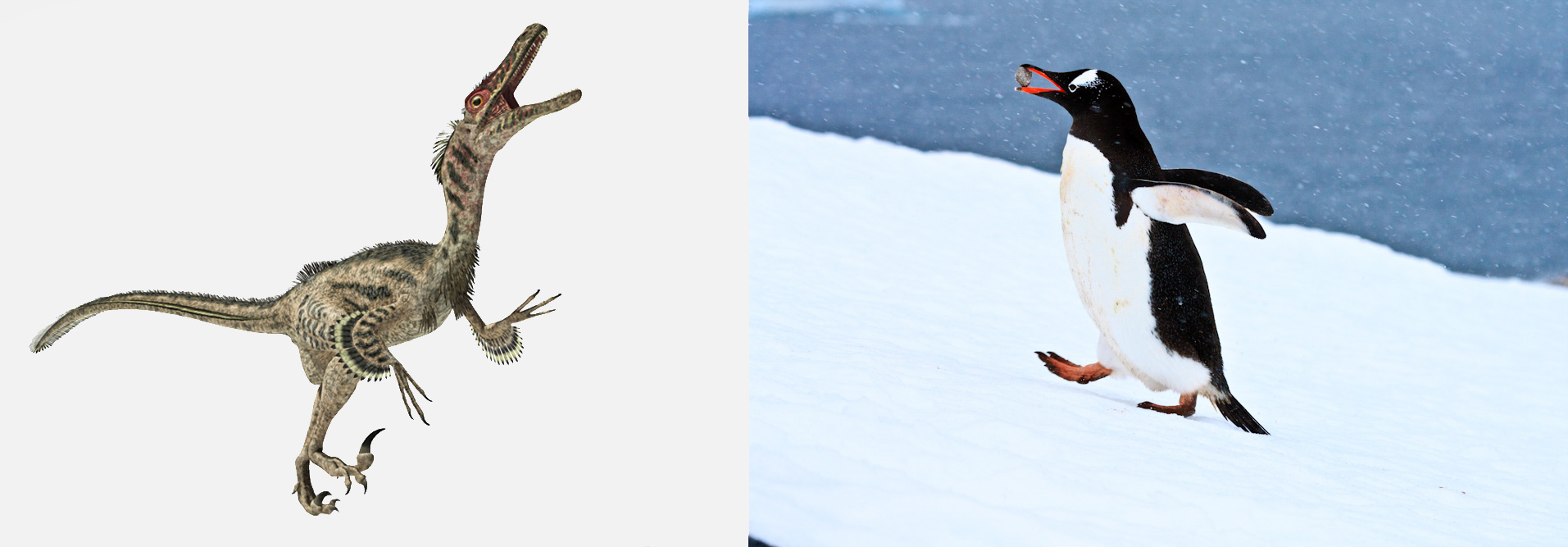 Velociraptor and Gentoo Penguin. Illustration: Stocktrek Images, Inc./Alamy, photo: Ken Zaremba/Audubon Photography Awards