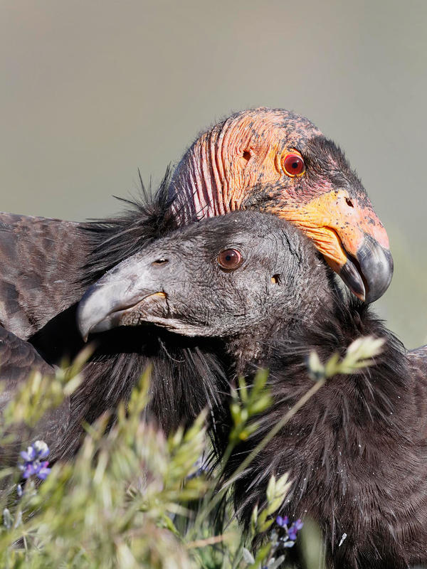 A California Condor nuzzles a chick. Condor chicks are dependent on their parents for at least six months. Loi Nguyen/Audubon Photography Awards