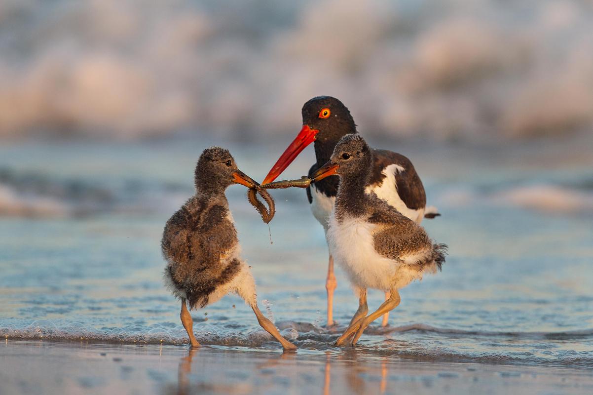 American Oystercatchers. Zachary Webster/Audubon Photography Awards