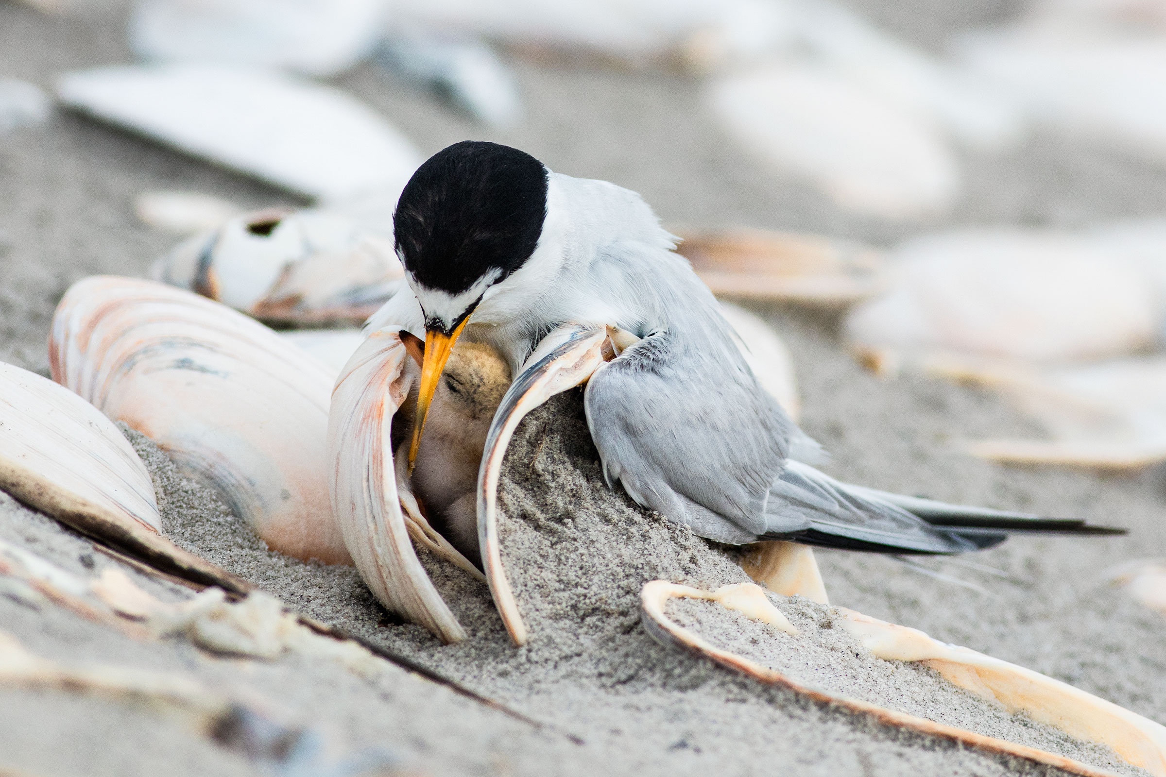 This Least Tern chick, nestled between shells, is unusual; more typically, chicks lay exposed on bare sand. Jim Verhagen