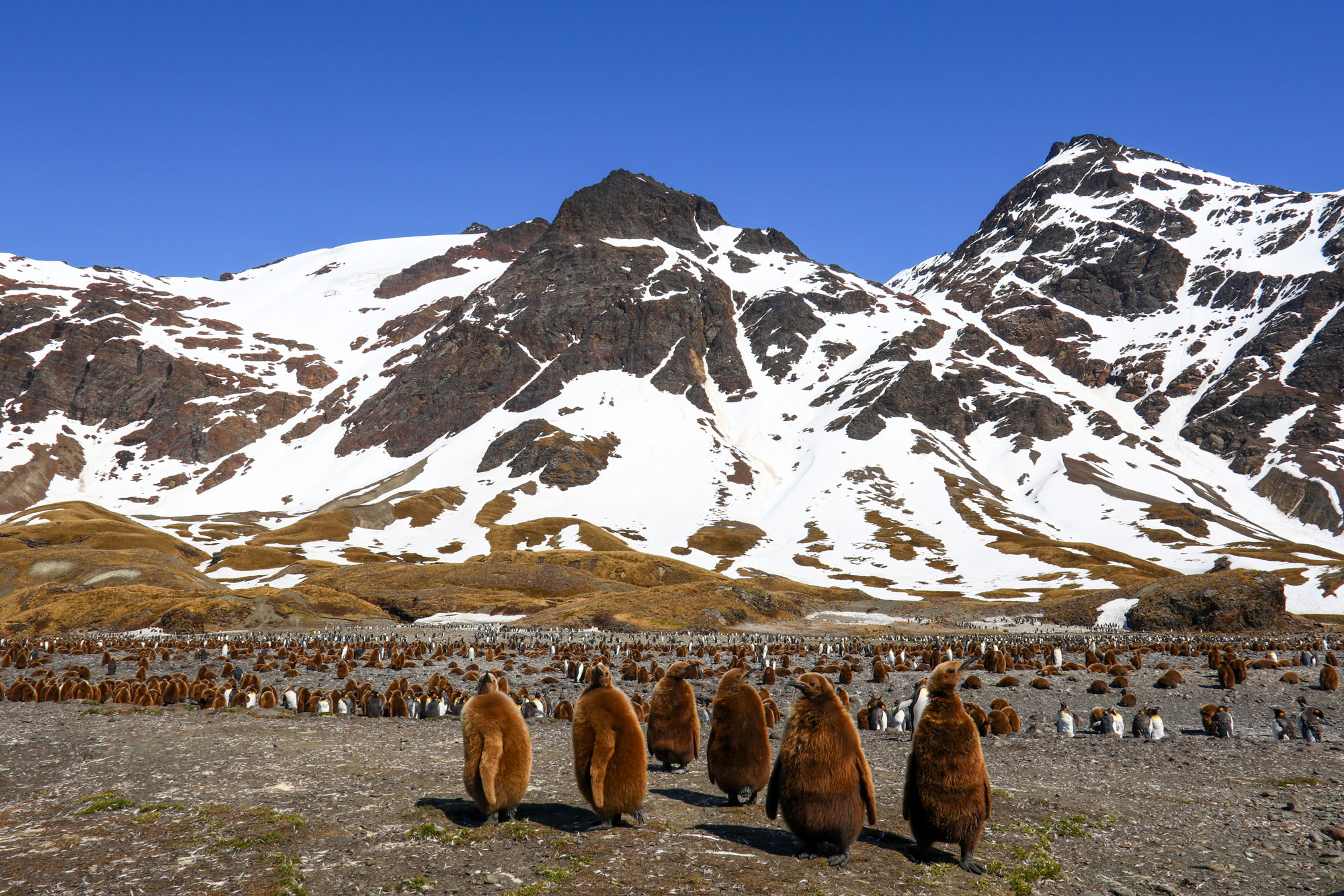 Six brown King Penguins stand on a rocky coast, with many dozens of additional penguins in the background. Behind them stand snowy mountains under a bright blue sky.