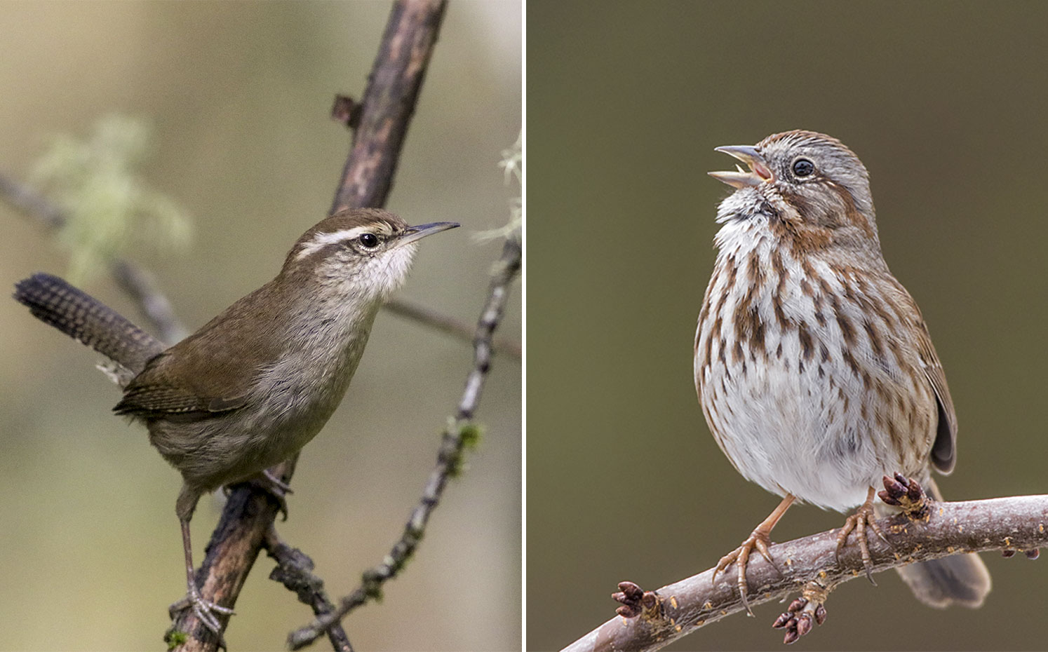 From left: Bewick's Wren. Photo: Susan Holtz/Audubon Photography Awards; Song Sparrow. Photo: Christine Haines/Great Backyard Bird Count